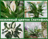 Спатифиллум (Spathiphyllum)