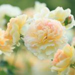 розово-бежевые розы