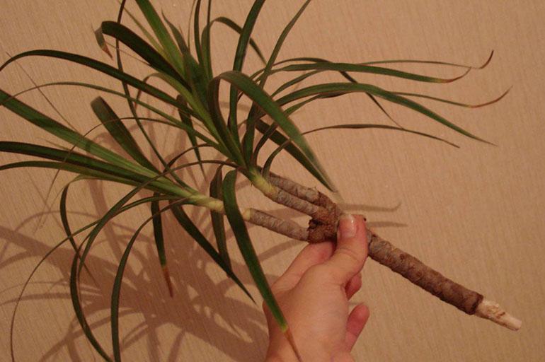 Пересадка молодого растения