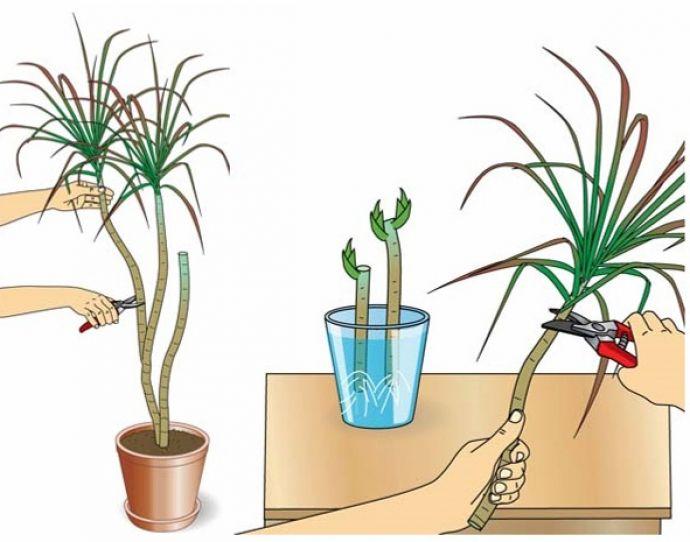 Драцена может размножаться черенками.