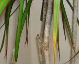 Почему у драцены сохнут кончики листьев