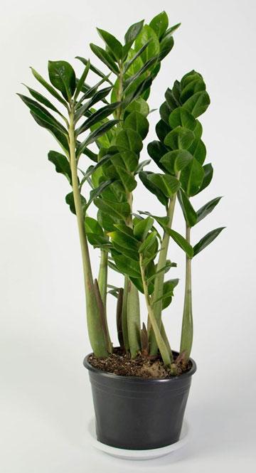 Замиокулькас долларовое дерево