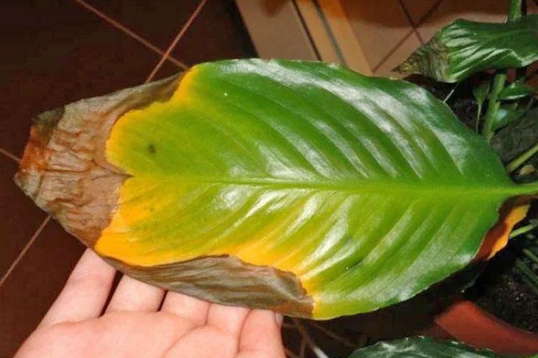 Пятна на краях листьев у спатифиллума