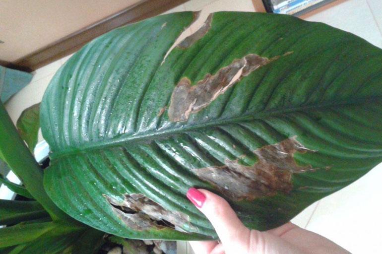 Темные пятна на листьях спатифиллума