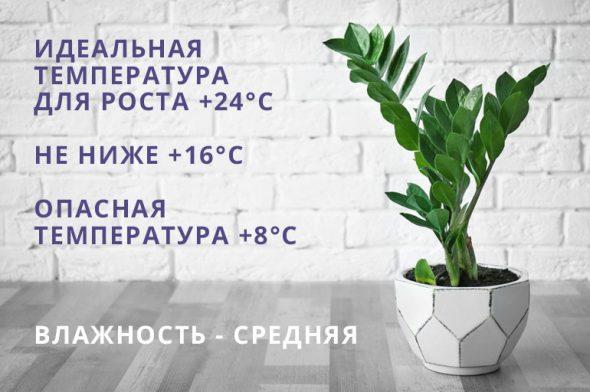 Температура и влажность для замиокулькаса
